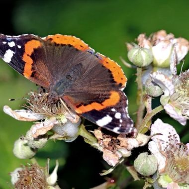 Red Admiral, wings spread, catching the Devon summer sun