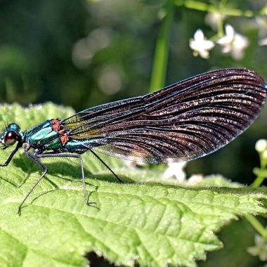 This Demoiselle is part of the damsel fly and dragon fly orders.