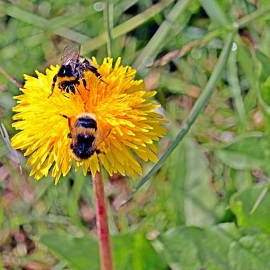 Two bumble bees getting their share of the dandelions sweetness