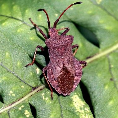 Part of the Stink Bug order,  this is a Dock Bug