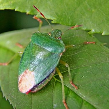 Green Shield Bug, one of the Stink Bug order.