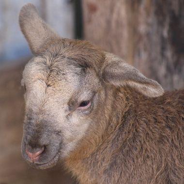Chocolate lamb