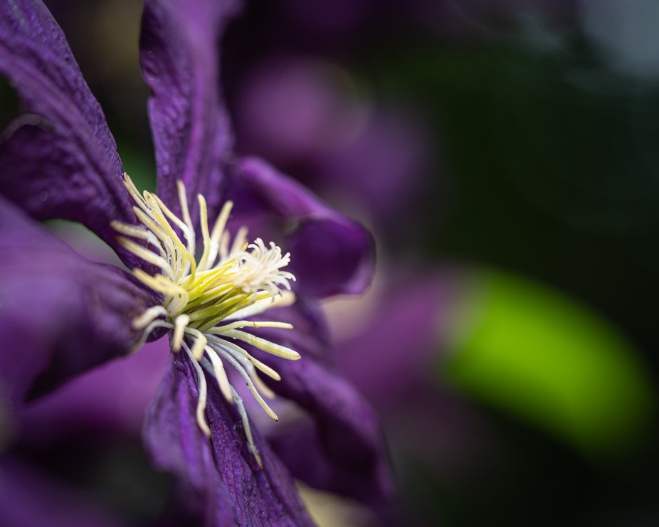 A side view of a Clematis bloom