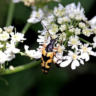 Spotted Longhorn, with its eye-catching yellow and black wing cases