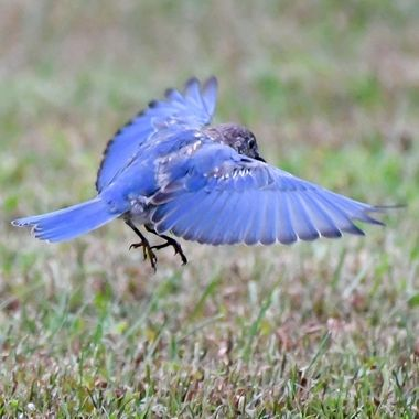 This Eastern Bluebird is a part of a small group hunting the cut grass for insects.