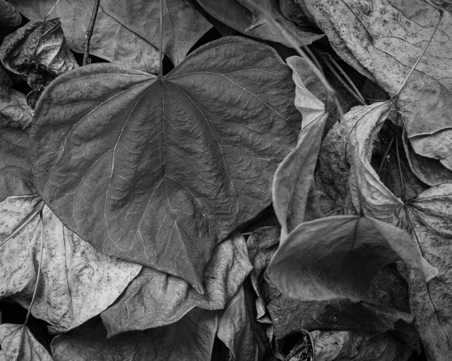 Textures of a drying Redbud leaf