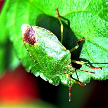 Green Shield Bug, a  variety of Stink Bug