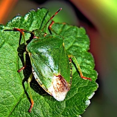 Green Shield Bug, also called a Stink Bug