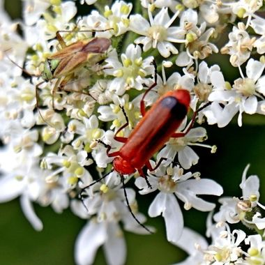 Red Soldier Beetle with young stink bug nearby