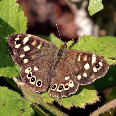 This Butterfly, a Speckled Wood, enjoying the sunshine with outspread wings.