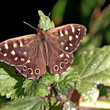 Speckled Wood butterfly in a Devon country lane hedge.