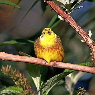 Yellowhammer at rest in the Devon sunshine.