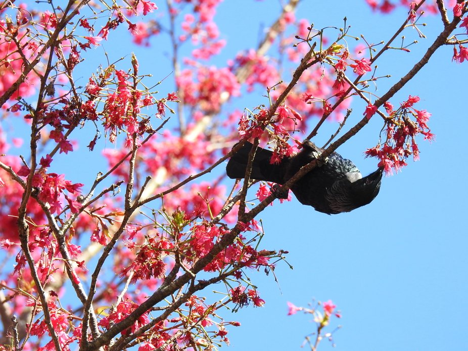 NZ Tui feeding on cherry blossoms.JPG