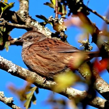 Dunnock – This is NOT a hedge sparrow, dunnocks are not sparrows, just look the it's sharp insect-eating beak.