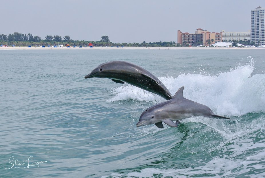 Bottlenose Dolphins Chasing our Wake