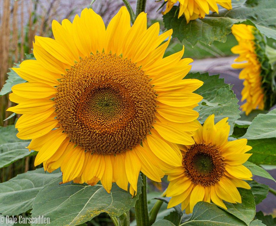 Sunflowers-3581