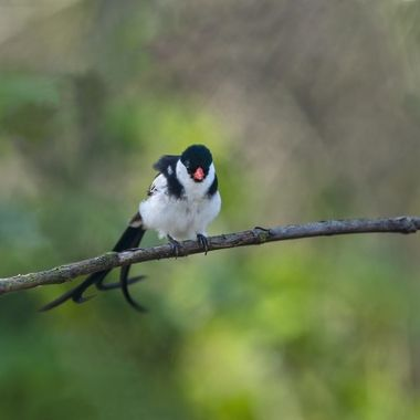 Pin-tailed Whydah DSC05678