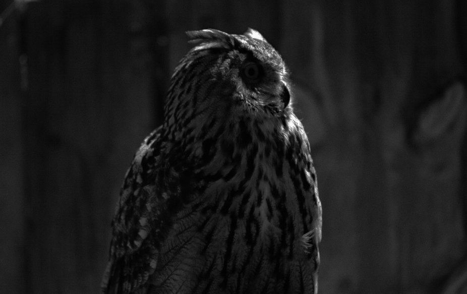 Owl in the Shadow