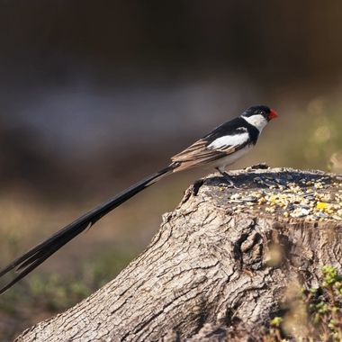 Pin-tailed Whydah DSC05615