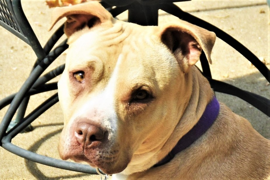 Melina is sweet red nose rescue pit bull who was being used as a puppy mill mama