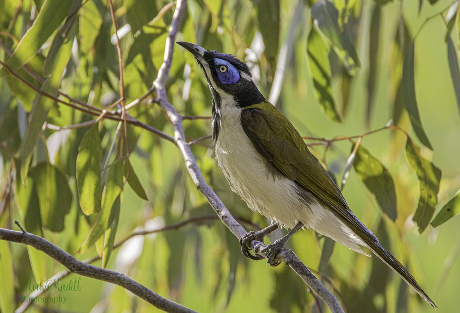 A blue faced honeyeater , shot from my backyard this afternoon.