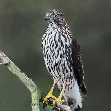 This Juvenile Cooper's Hawk came at eye level less than 40 feet from me as I was taking photos of small birds congregating around the cut down old fig tree because someone left some bird seeds around there.  The small birds were alarmed and all left or hid away.  Next time, my young friend.