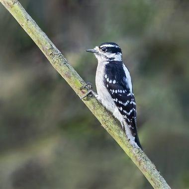 Downy Woodpecker, female DSC04642
