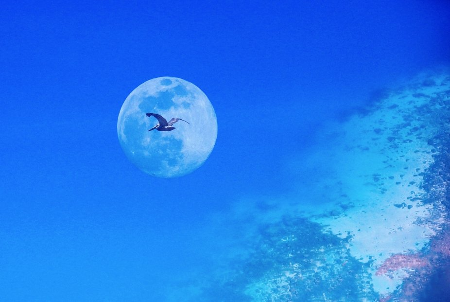 Three different photos combined into this one composition of a pelican flying across the moon ove...