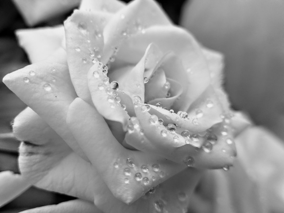 This is a black And white photo of water droplets on a rose