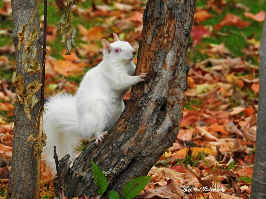 Well hello, beautiful! My favorite albino squirrel playing in the fall leaves and climbing trees!
