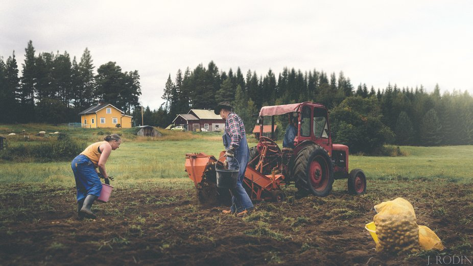 Fall is here and as every year, my parents pick their potatoes by hand.