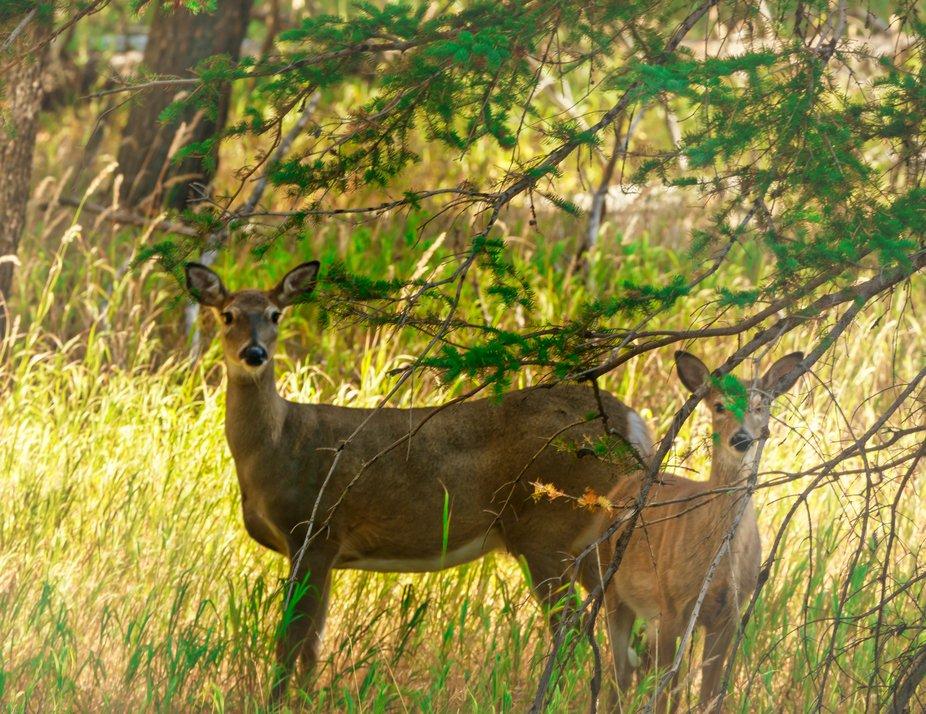 Deer at Cyprus Hills