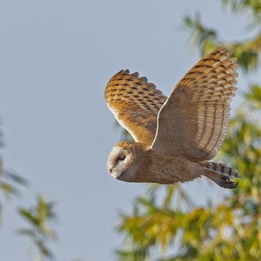 Barn Owl DSC06156