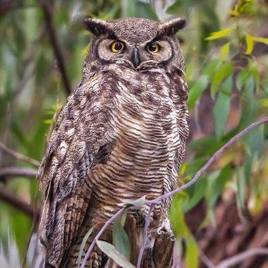 Great-Horned Owl adult male DSC06622