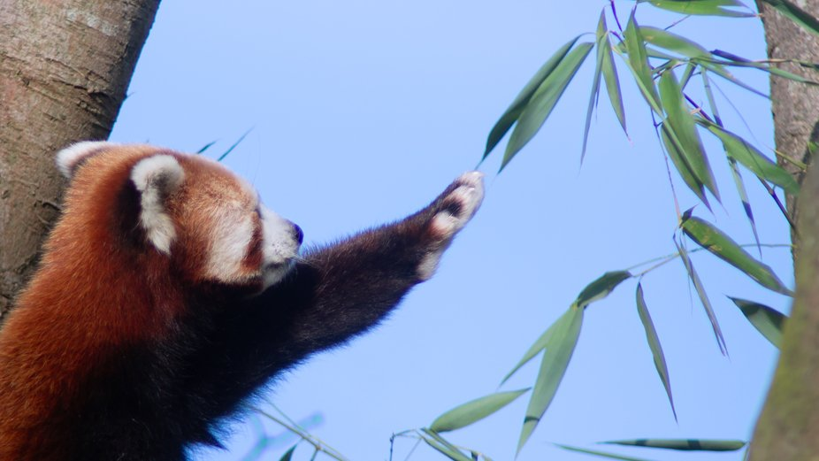 This Panda was reaching out it's paw to try and get to the leaves. It was also licking t...