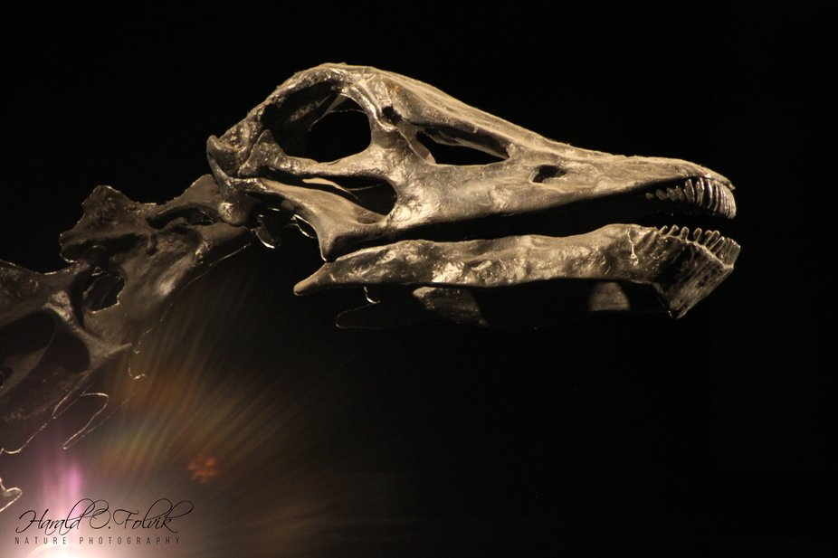 A dinosaur head, at the National History Museum, University of Utah.