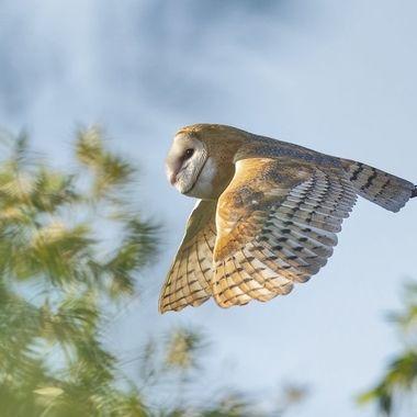 Barn Owl DSC06112