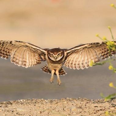 Burrowing Owl Juvenile DSC04567