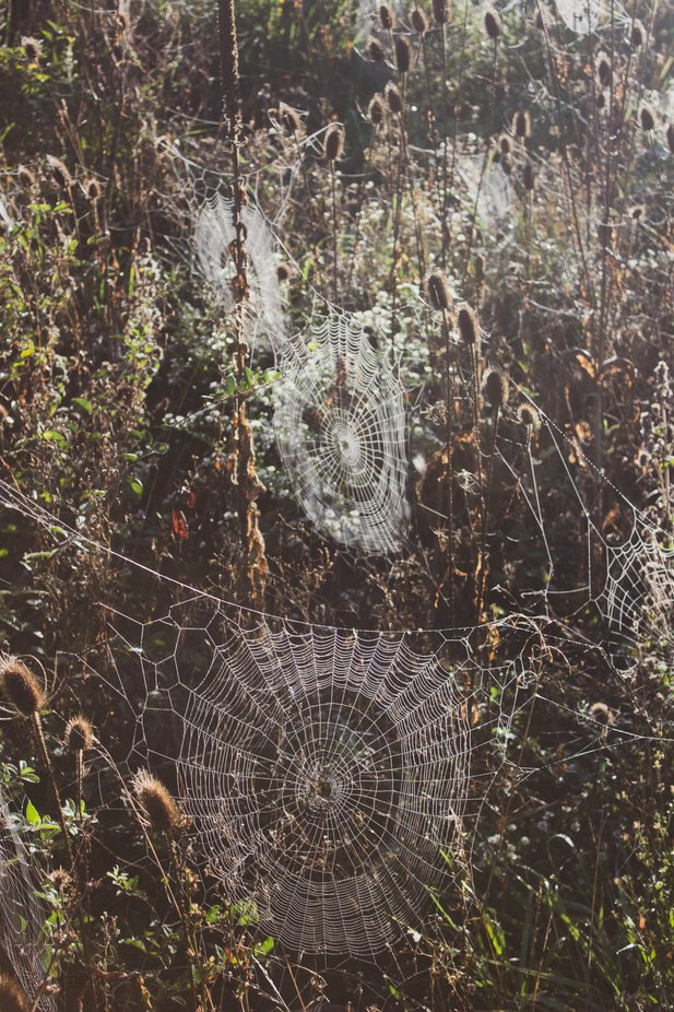 There was probably 50 or more webs and they all had huge orb spiders in them