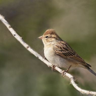 Chipping Sparrow DSC06439