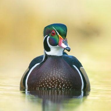 Wood duck male DSC02990