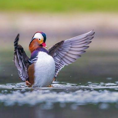 Mandarin Duck male DSC02484