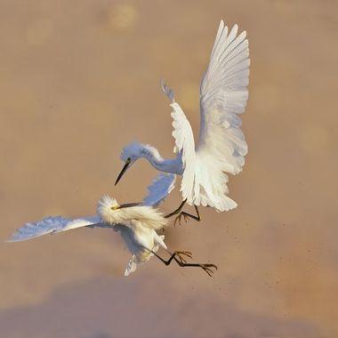 Snowy Egret fighting DSC01233