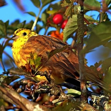 The Yellowhammer, emberiza citrinella, a bunting, with distinctly forked tail. Often perched on top of a hedge, singing. Ivybridge, Devon, England.