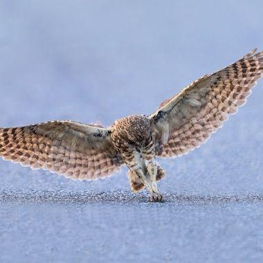 Burrowing Owl huntinng DSC00485