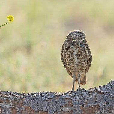 Burrowing Owl with bug DSC09628