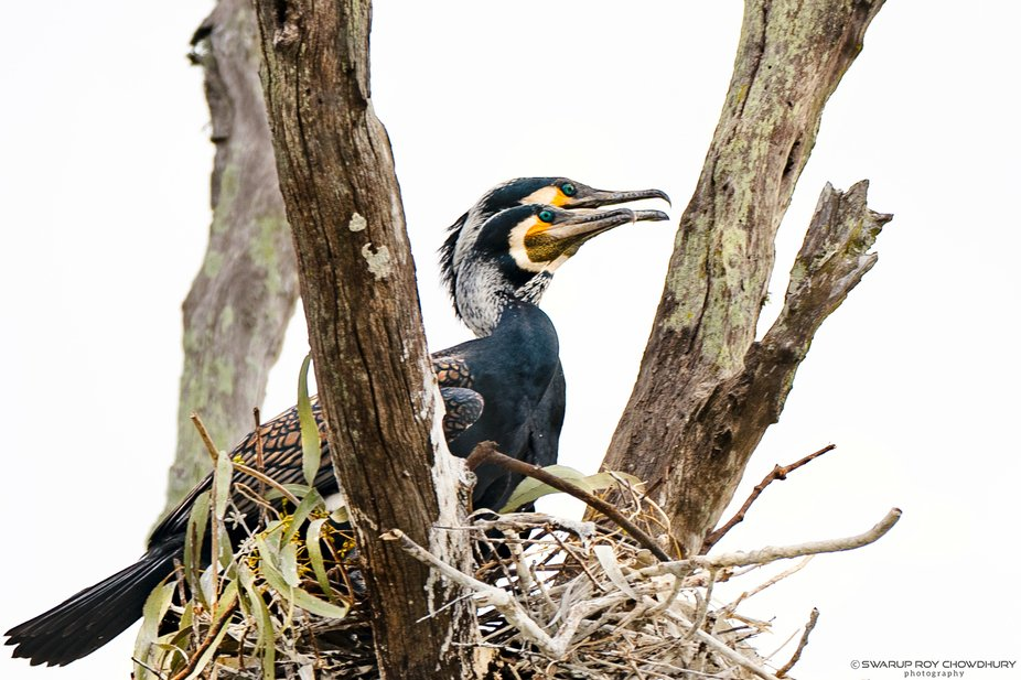 During our evening boat safari... Cormorant are very family oriented and always stay with their f...