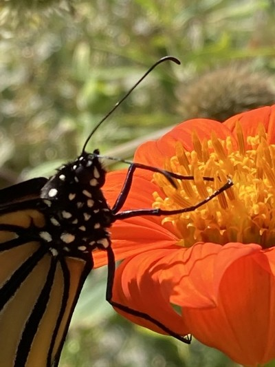 closeup monarch orange