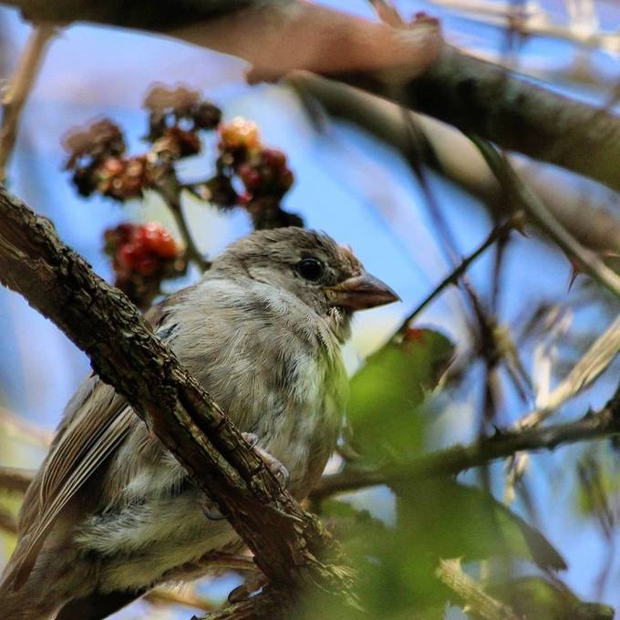 Beautiful baby sparrow  High up on the tree waiting for food   #canon #75300mm #canoneos2000D #Ireland #Kerry #bird #wildlife #sparrow #nature #outdoors #songbird #animal #little #finch #wild #avian #feather #ornithology #tree #birdwatching #beak #wing #passerine