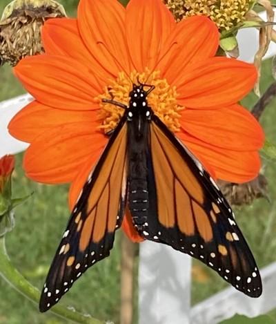 monarch on orange